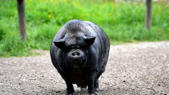 55 вторични огнища на Африканска чума по свинете са установени в Хасковско