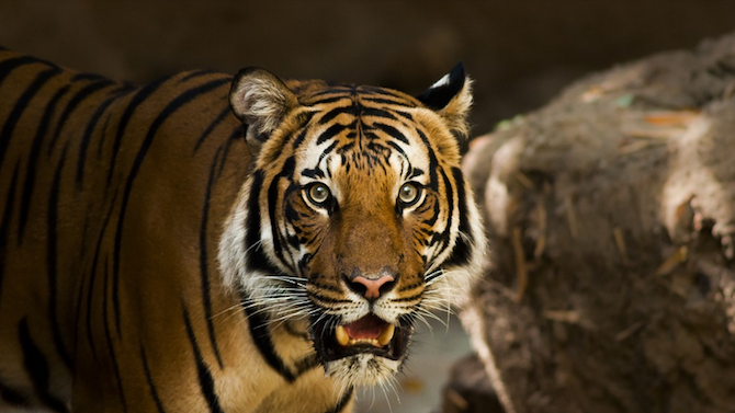 Евтаназираха тигрица, заразена с COVID-19