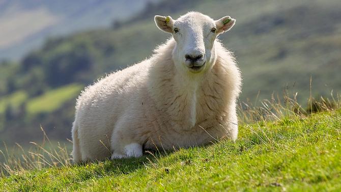Гневна овца прати австралиец в болница