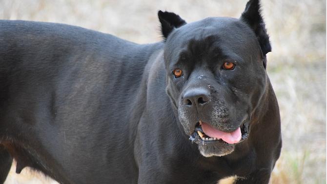 Куче-пазач убива домашни любимци в София