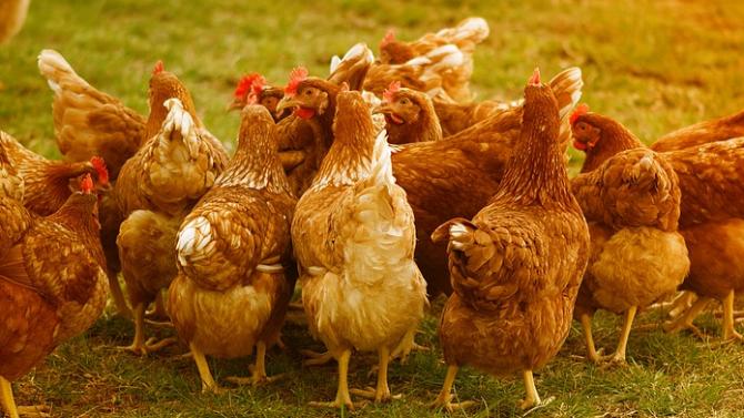 БАБХ установи ново огнище на инфлуенца по птиците в Славяново