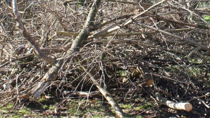 В Плевен премахват опасни дървета