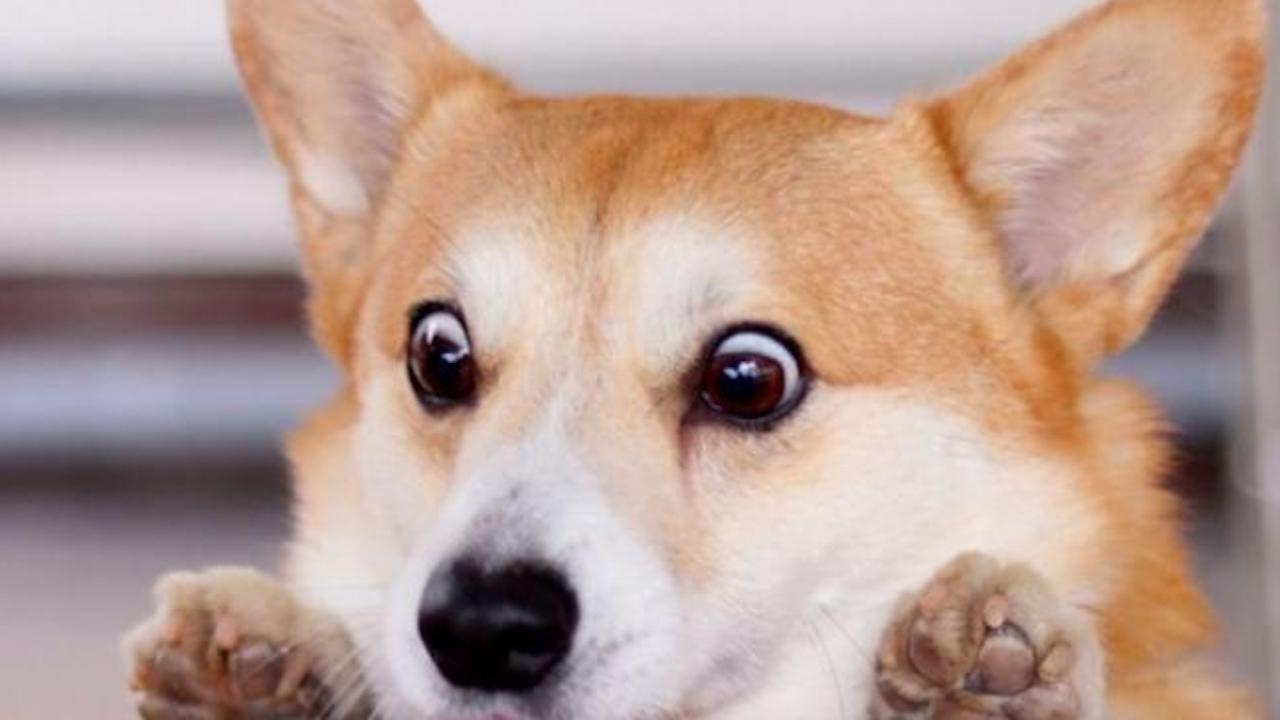 Почина кученцето Хен, вдъхновило хиляди мемета в социалните мрежи