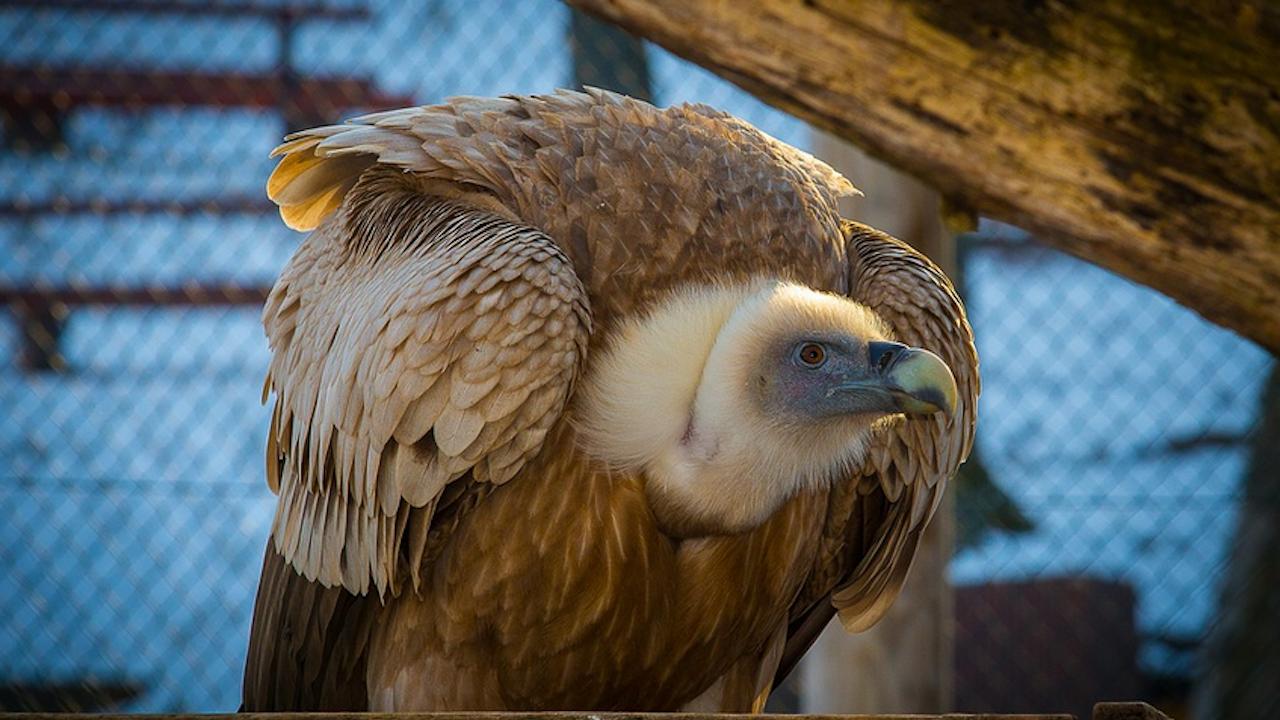 Белоглаво лешоядче е излюпено в Спасителния център за диви животни