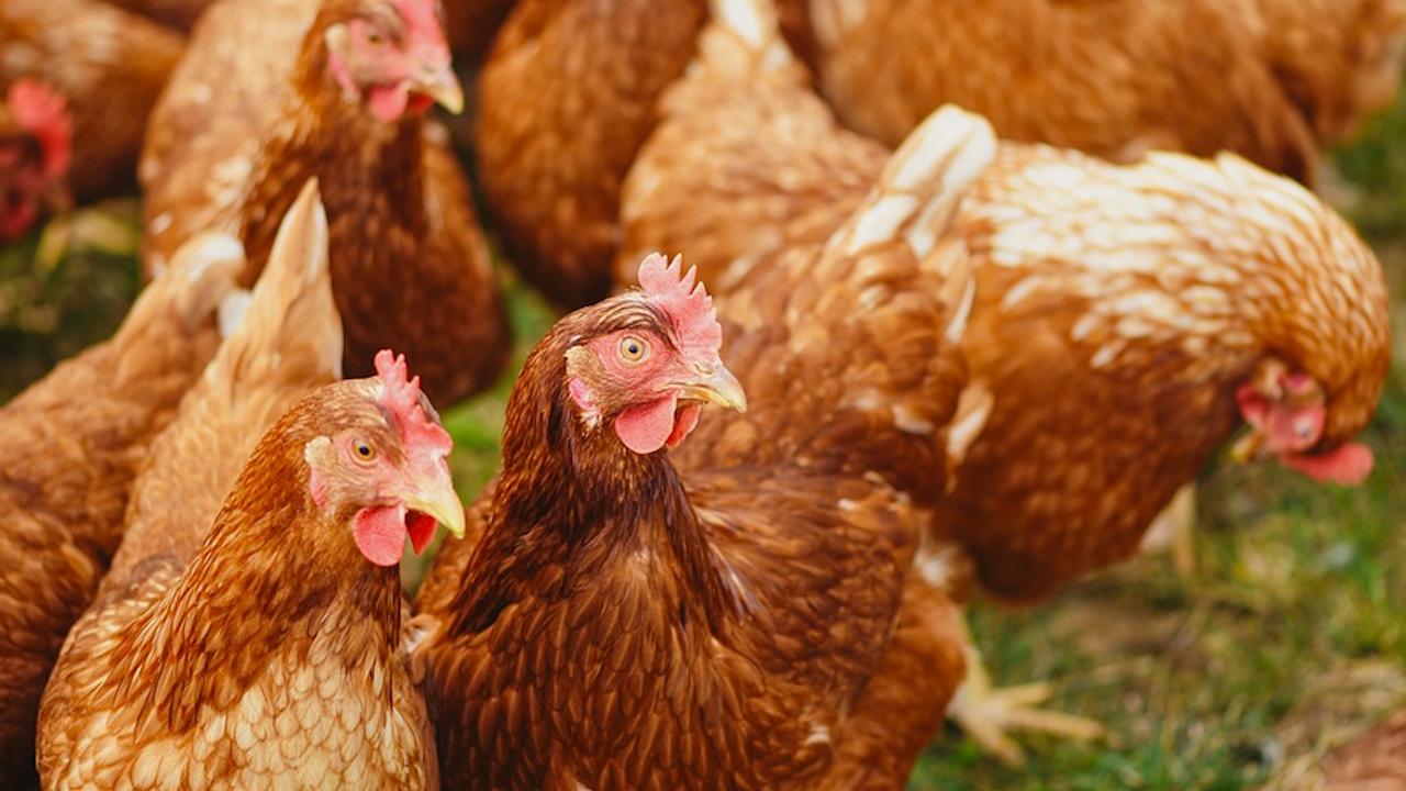 Русия съобщи за първи случаи на зараза на хора с птичи грип
