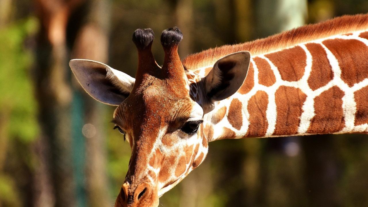 Млада жена уби жираф, изтръгна сърцето му и се похвали във Фейсбук