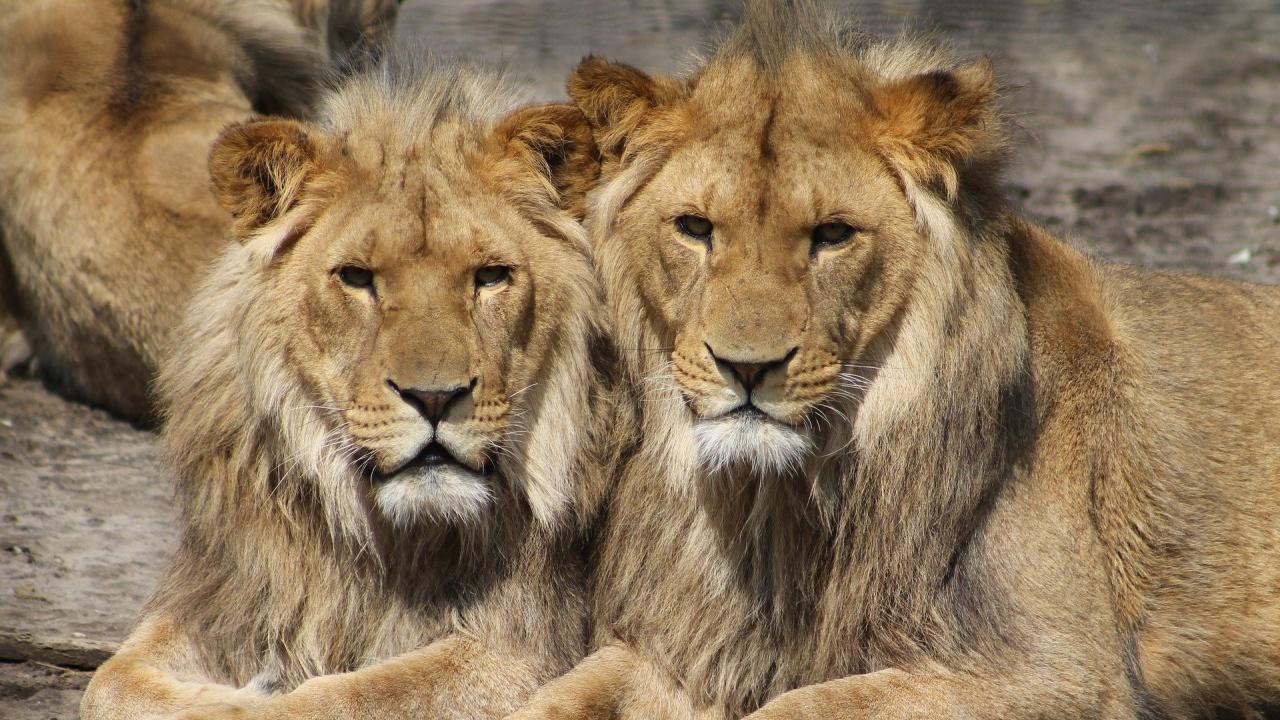 Горила и два лъва в зоопарка в Прага с COVID-19