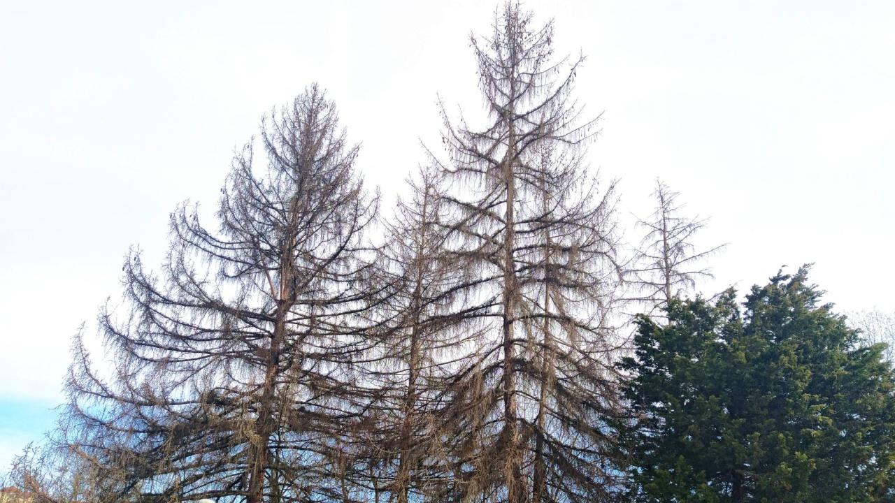 Премахват опасни дървета във Велико Търново