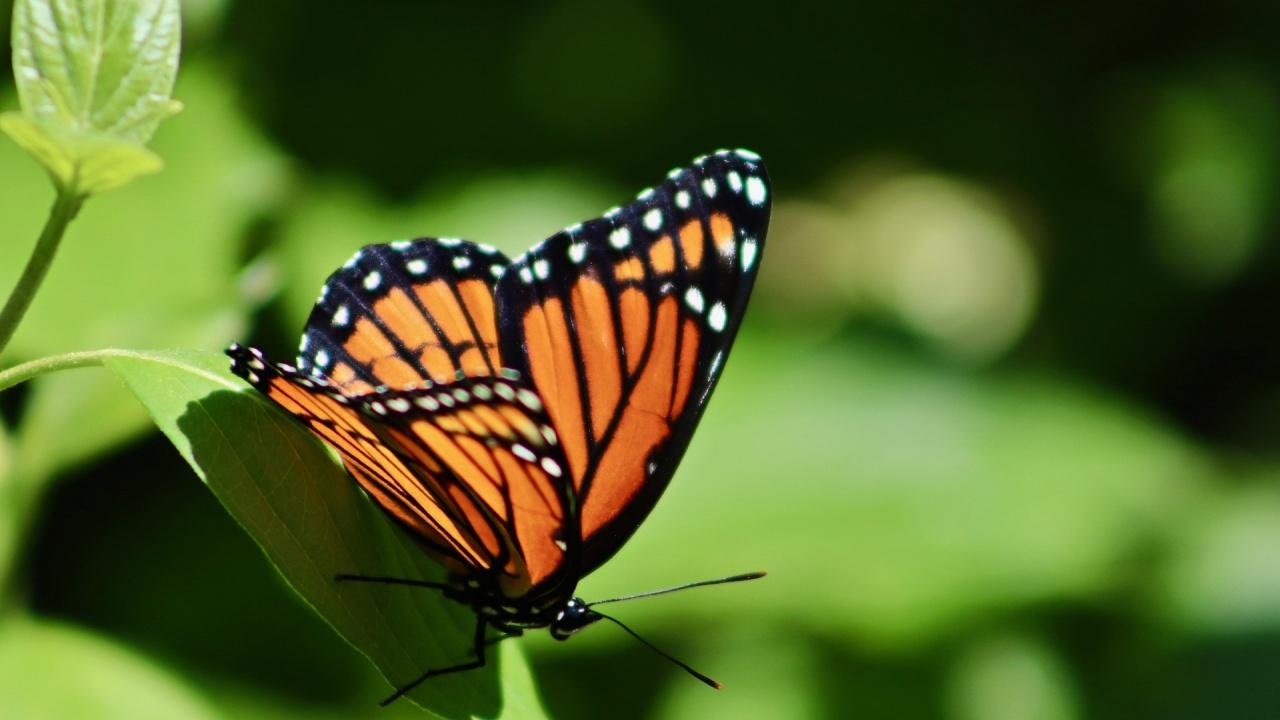 Пеперудите монарх изчезват от най-големия им резерват в Мексико