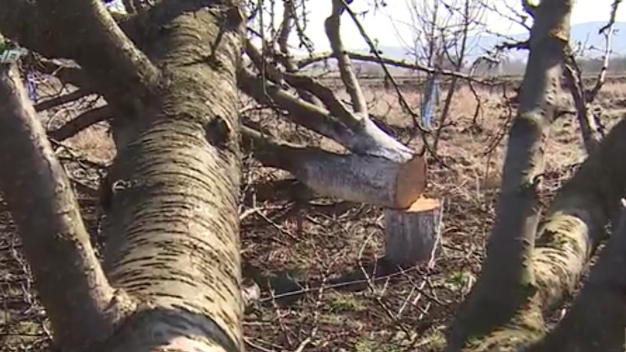 Брутална сеч в овощната гора на лекар в Брезник