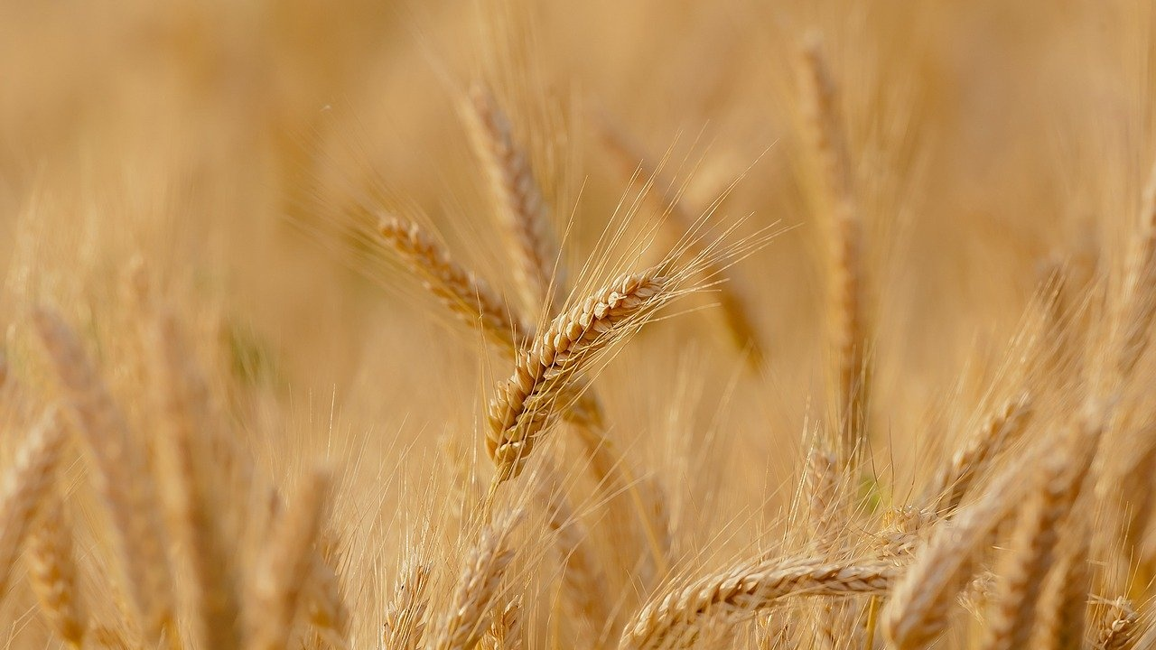 15% по-голям добив на пшеница у нас се очаква тази година