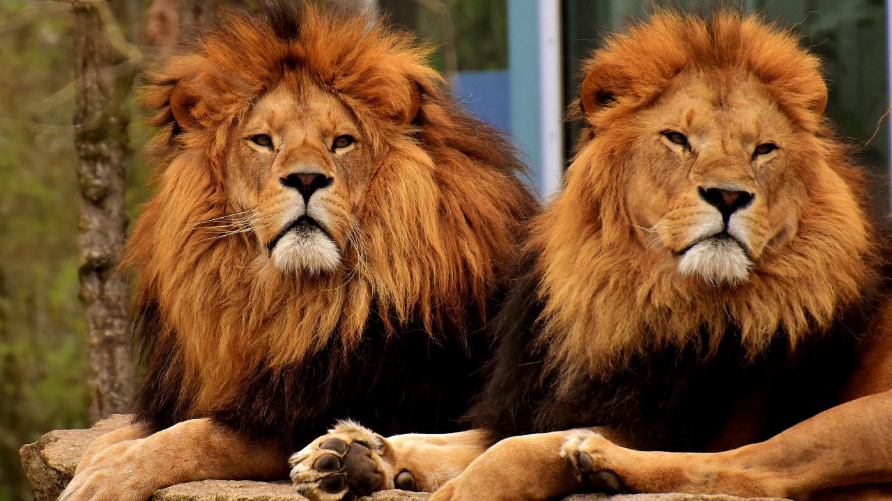 2 млади лъва разкъсаха мъж