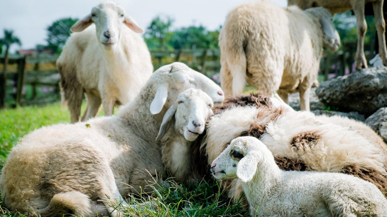 Фермер предлага на самотните хора да прегръщат овцете му