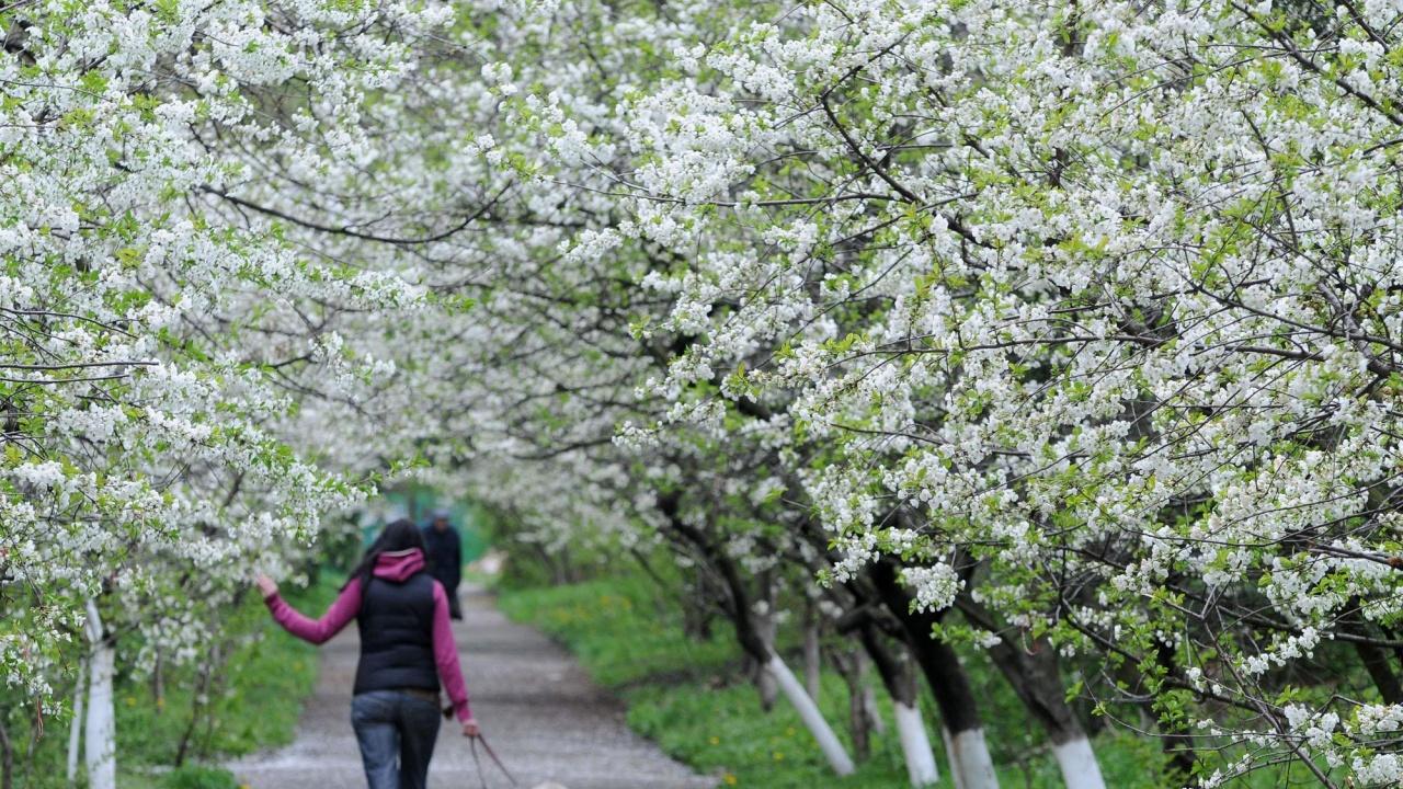 Периодът от 20 март до 5 април е рисков за овошките в Южна България