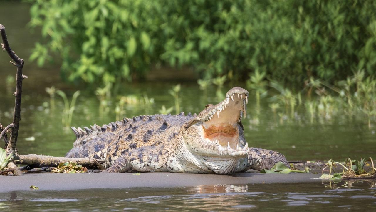 Гигантски крокодил глътна цяла акула на една хапка
