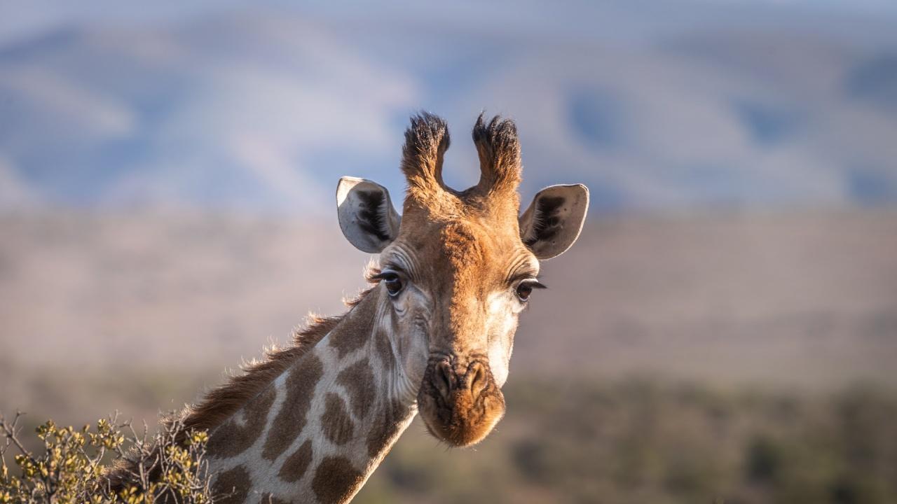 Спомина се женският жираф Ейприл, превърнал се в интернет сензация