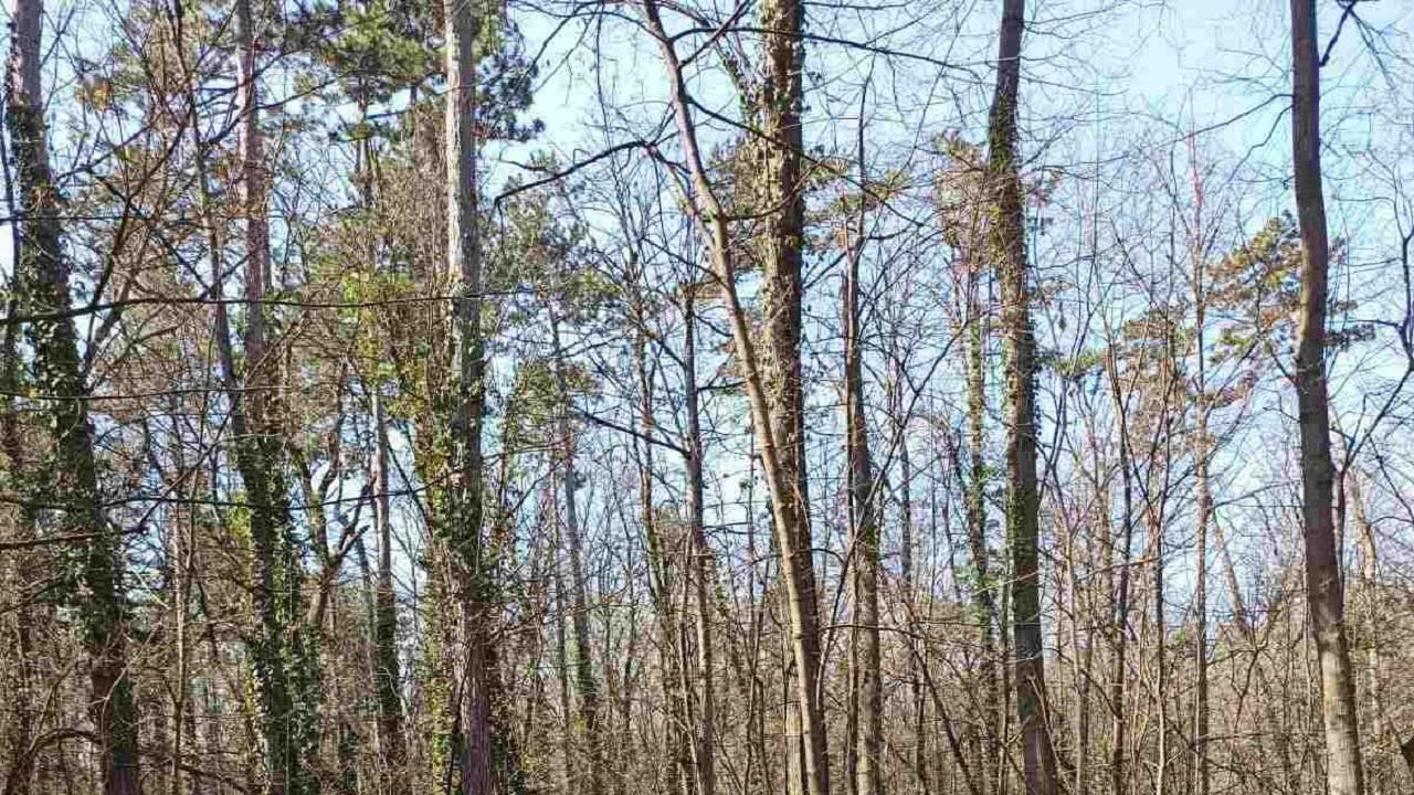 Сребролистни липи засаждат в Лесопарковата част на Борисова градина