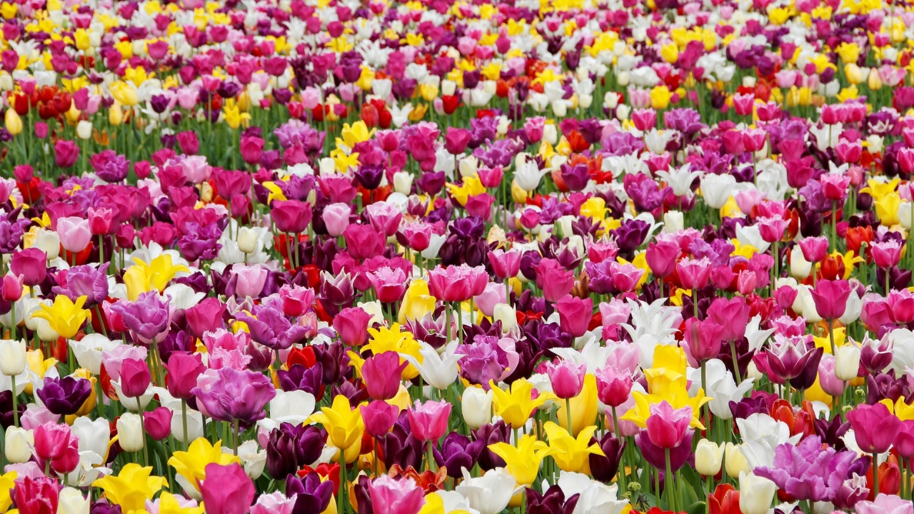 Килим от лалета и теменужки ще разцъфти през пролетта пред НДК