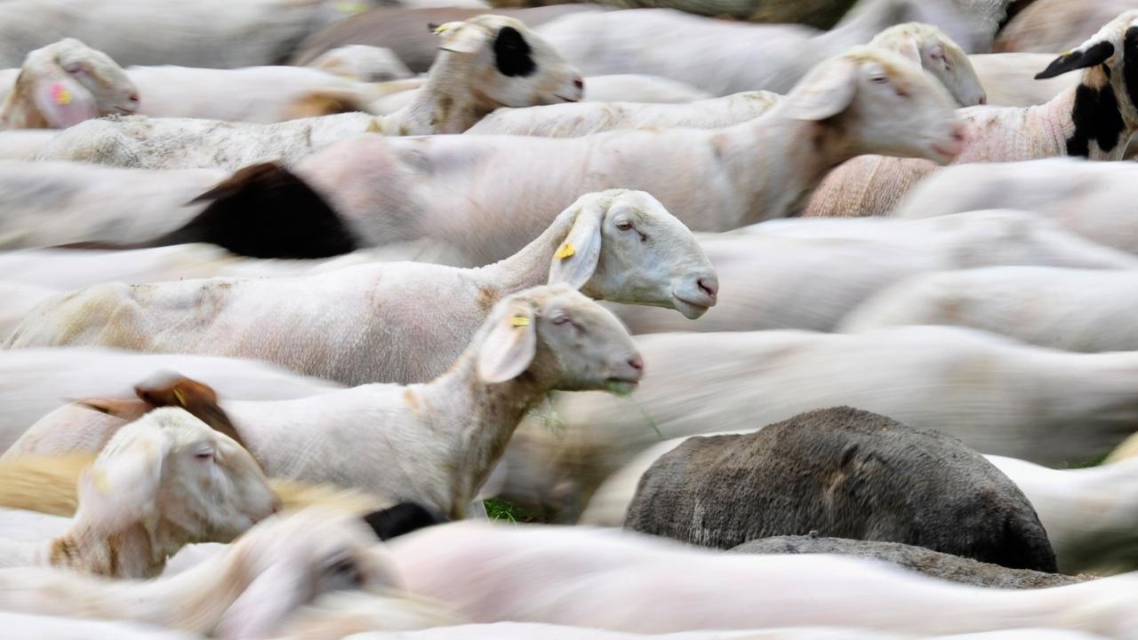 Мистерия: Стотици овце обикалят в кръгове във Великобритания