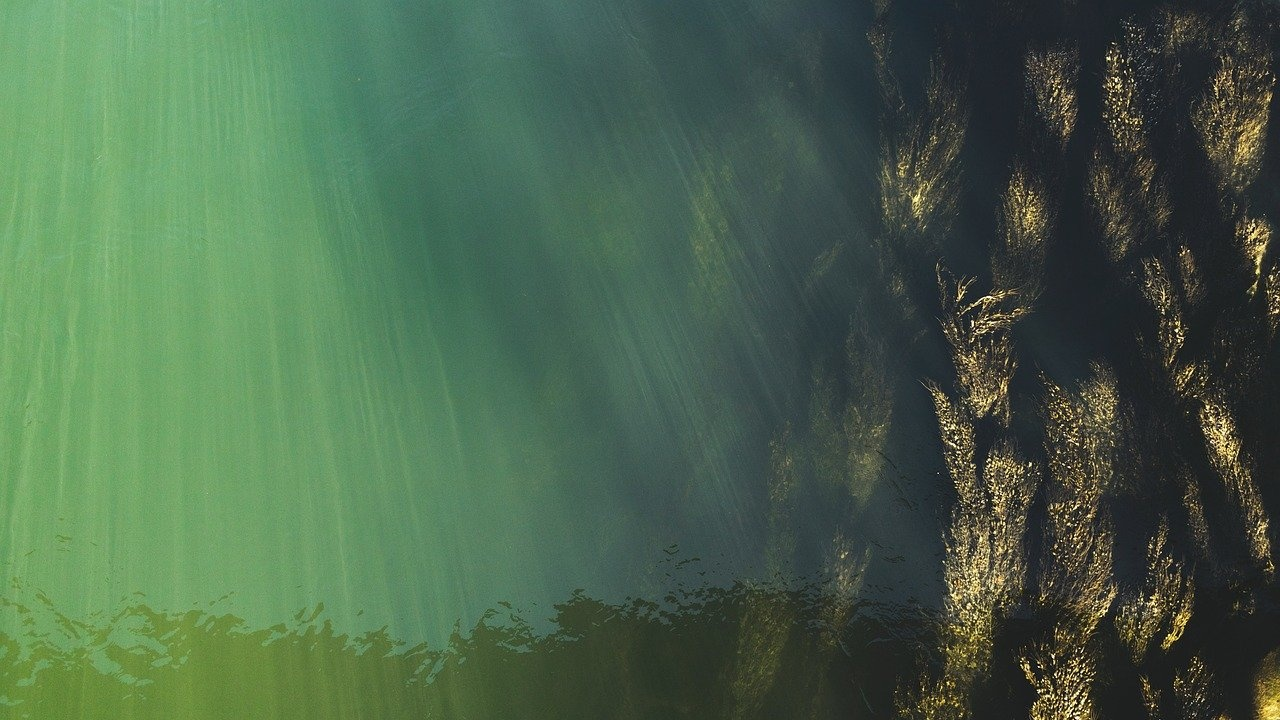 Водорасли, токсични за хората, са опасни и за рибите и мидите