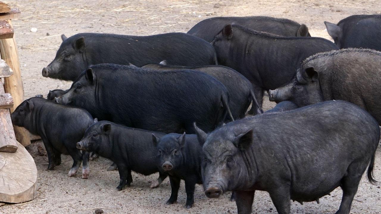 Свине, вечно ли искате да живеете?