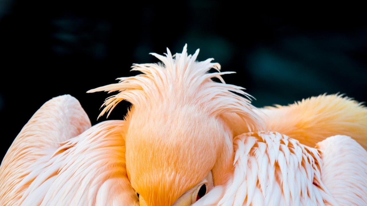 """Излюпиха се първите малки на къдроглавите пеликани в резерват """"Сребърна"""""""