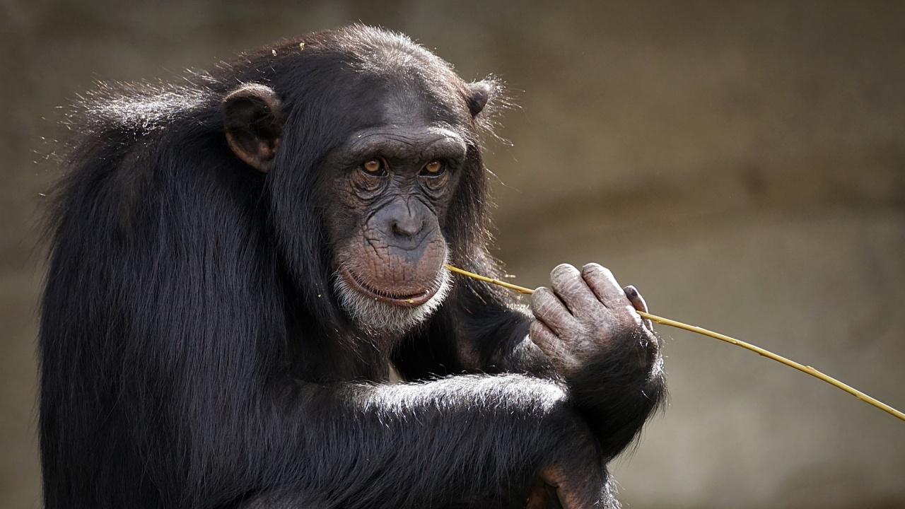 Експеримент с човешки клетки в ембрион на маймуна предизвика етични спорове