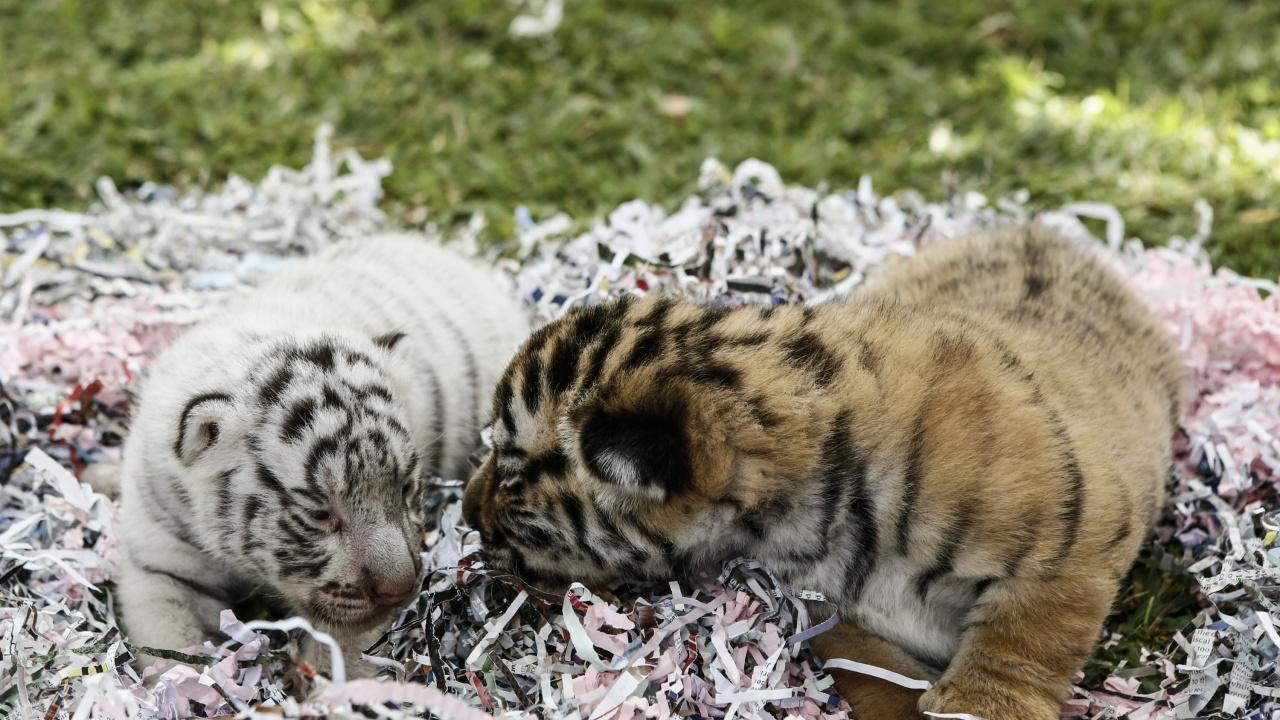 Четири бенгалски тигърчета се родиха в зоопарк в Хавана