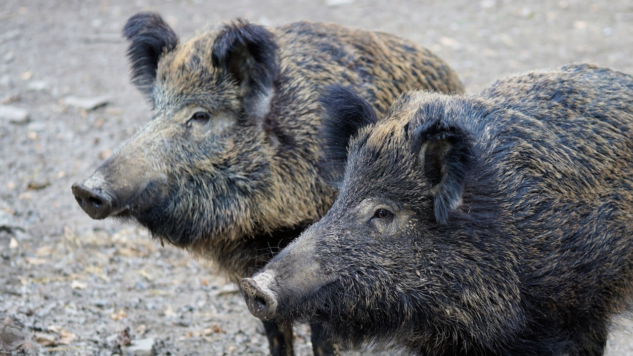 Дивите прасета в Монтанско са намалели заради африканската чума