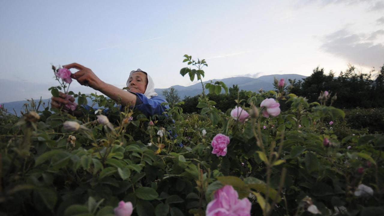 Отпускат се 3 млн. лева за преработка на розов цвят