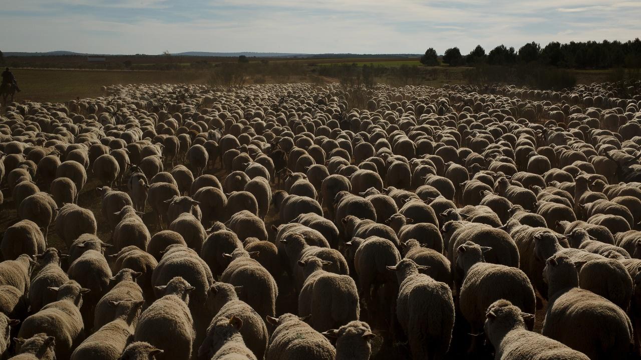 Над 120 000 са овцете и козите фантоми