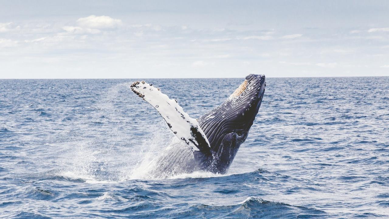 Видяха син кит край бреговете на Италия