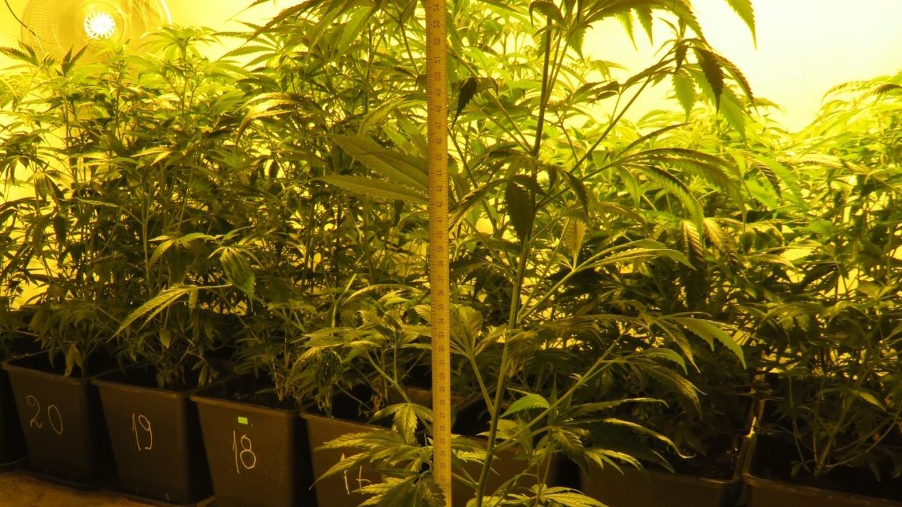 Разбиха оранжерия с марихуана в къща в Шабла