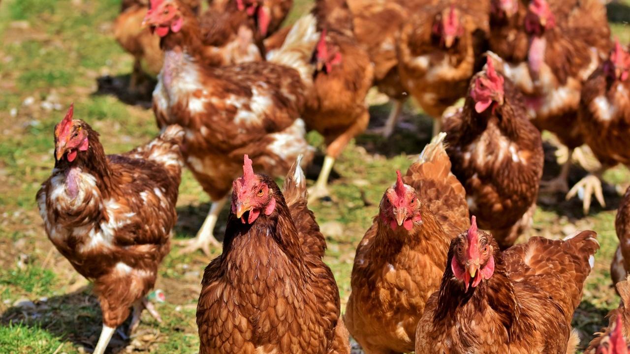 Птичи грип в Хасковско: Взимат спешни мерки да се ограничи огнището