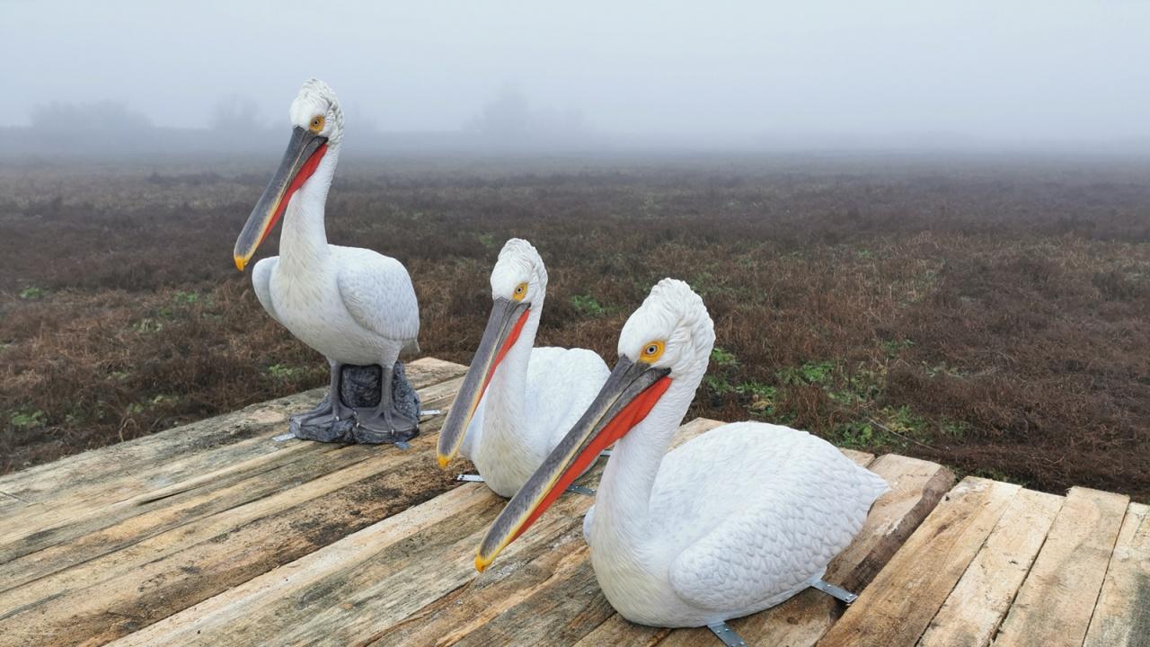 Макети на птици привличат пеликани с природозащитна цел