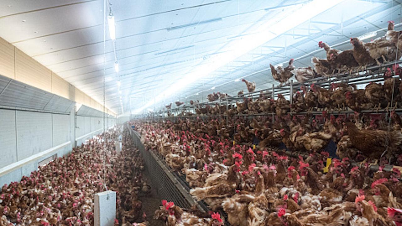 Птичи грип в Пловдивско, умъртвяват хиляди кокошки