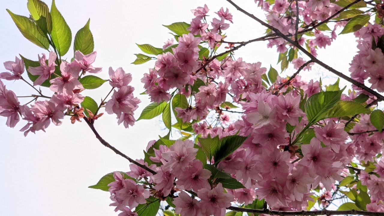 Японските вишни разкрасиха Морската градина във Варна