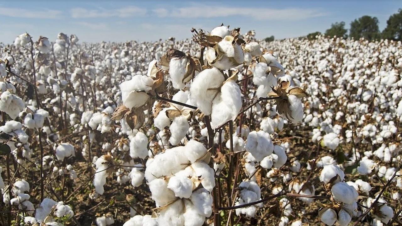 Изплатени са близо 4 млн. лв. на памукопроизводителите за 2020 г.