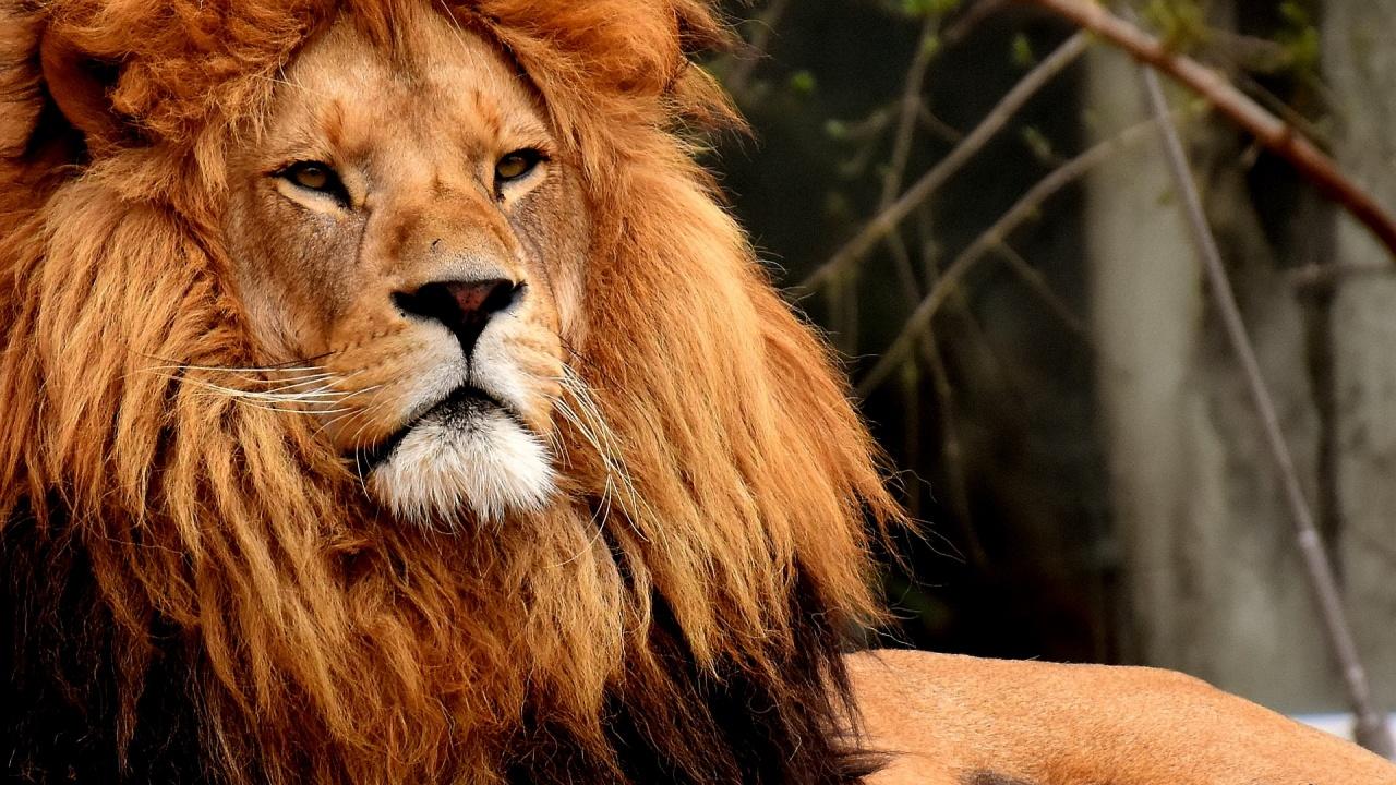 РЮА ще забрани отглеждането на лъвове в плен