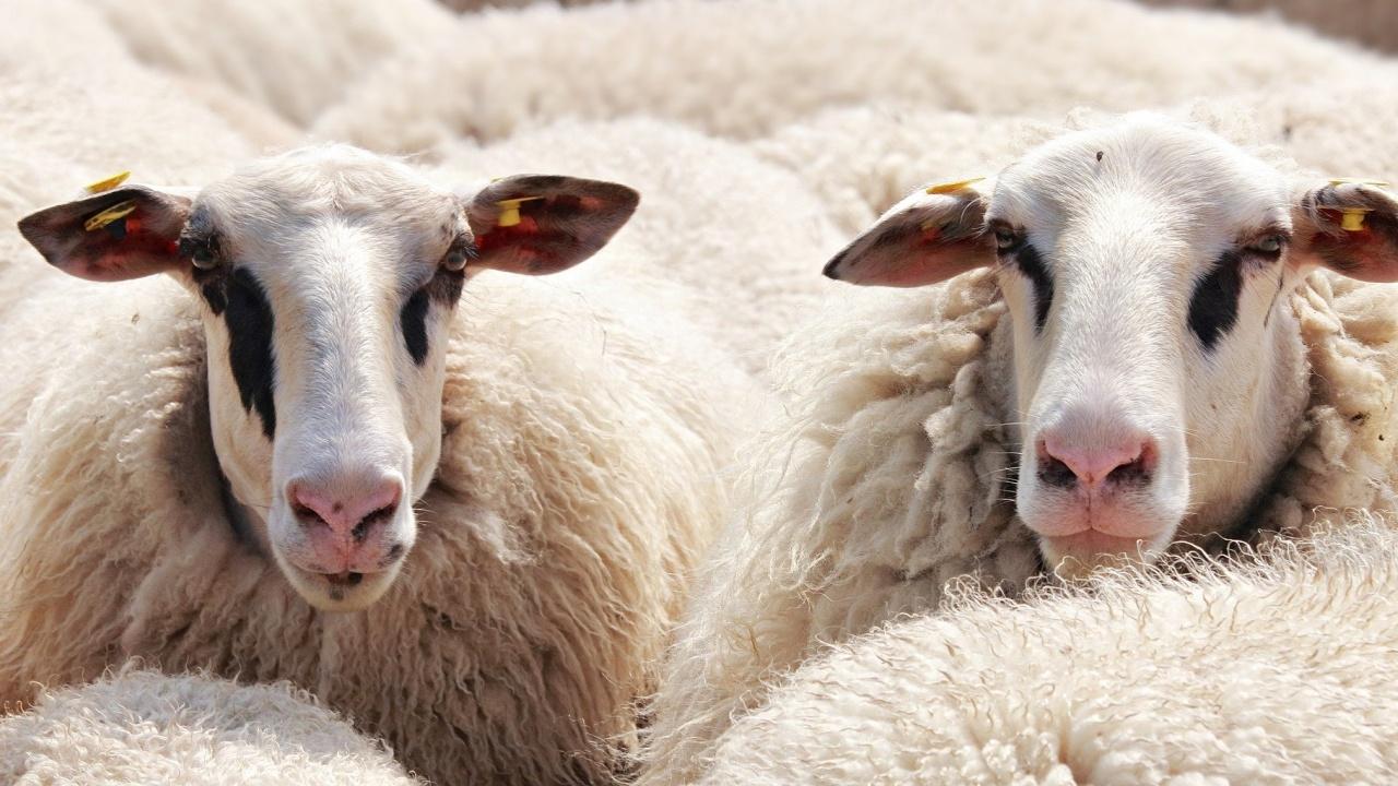 Броят на отглежданите у нас овце драстично е намалял до около 1 милион