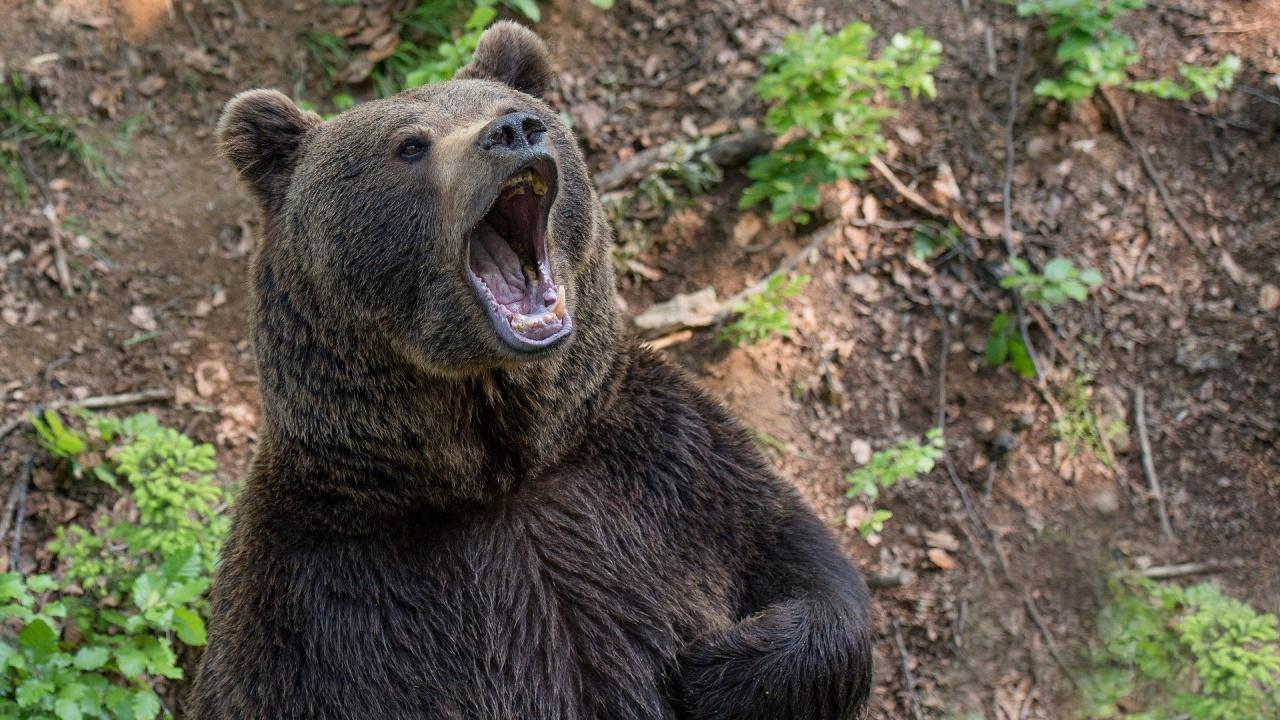 Дванадесет са нападенията от мечки в област Смолян през април