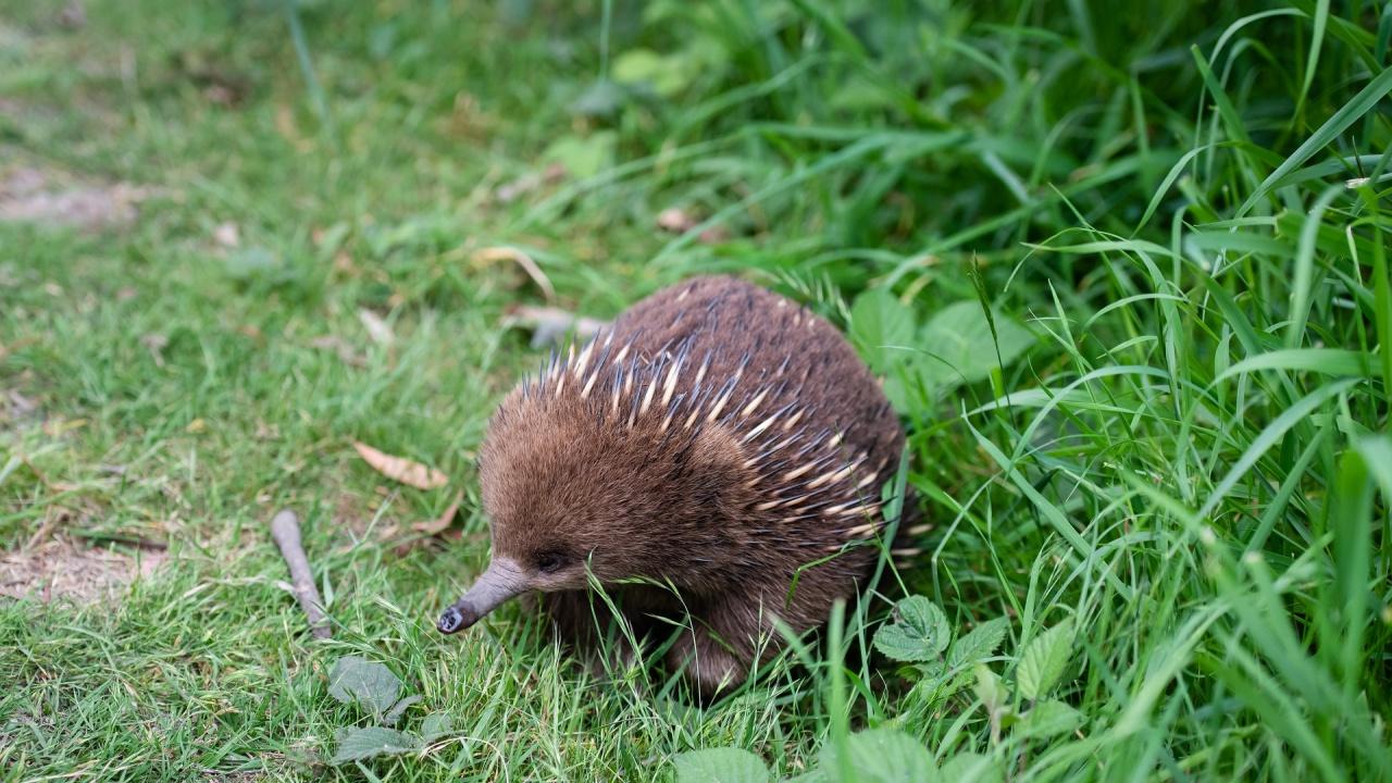 Австралийски зоопарк представи рядко бебе ехидна