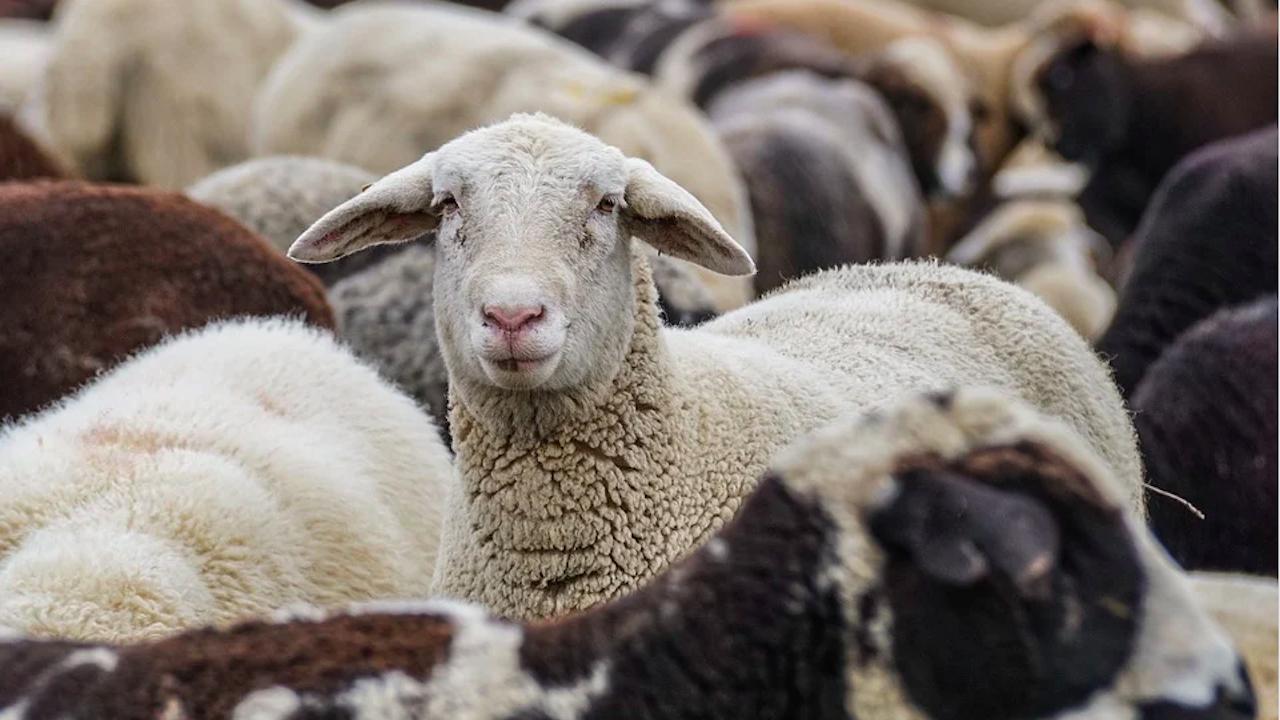 """Овцевъди: В България има стотици хиляди """"виртуални овце"""""""