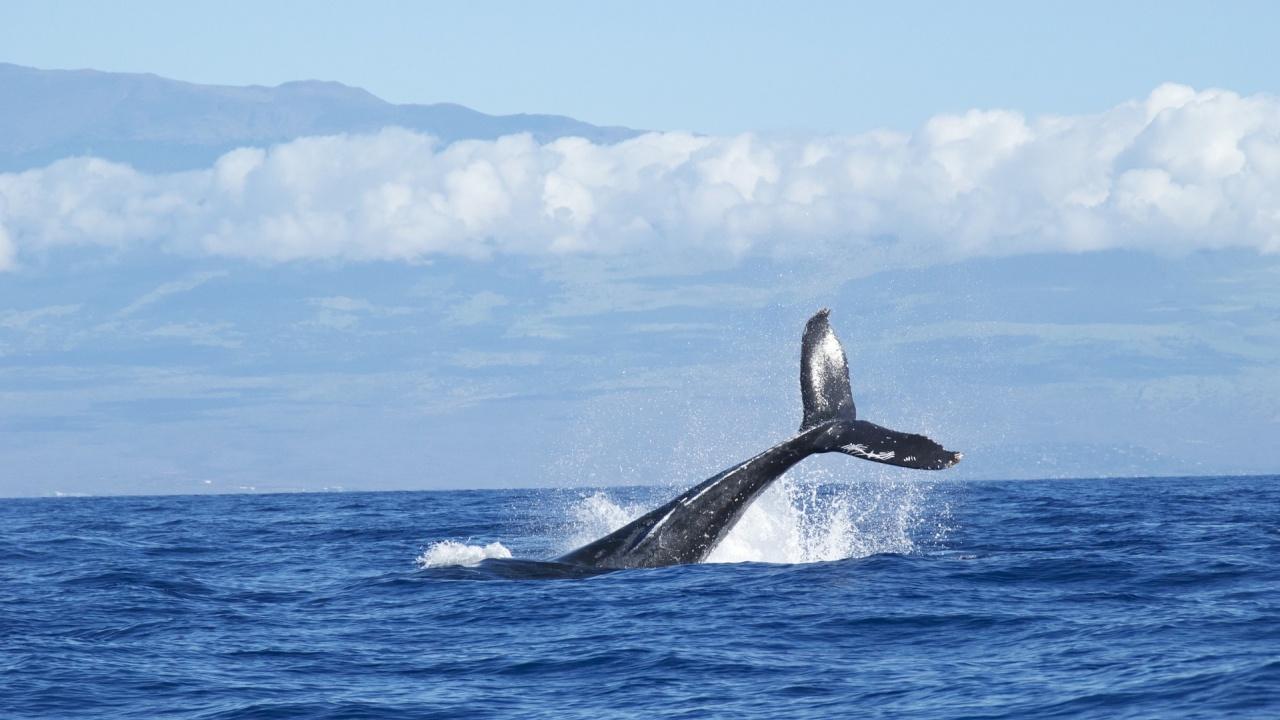 """Видео на """"прегръщащи се"""" критично застрашени китове озадачава учените"""