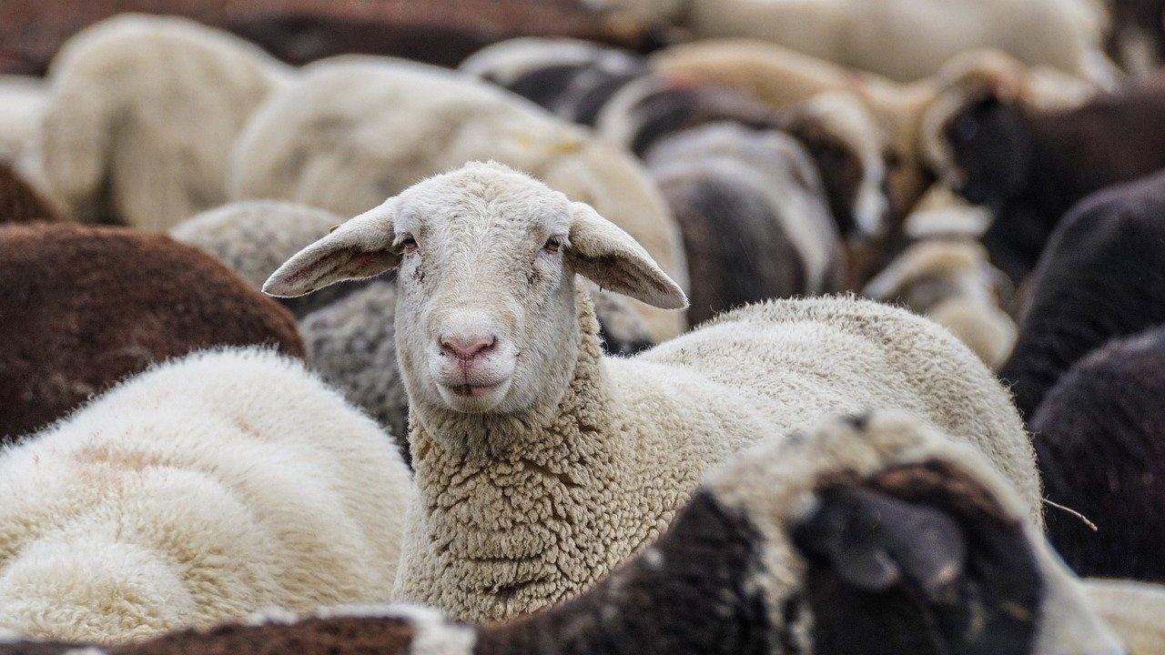 Овцевъдството у нас – любов или бизнес