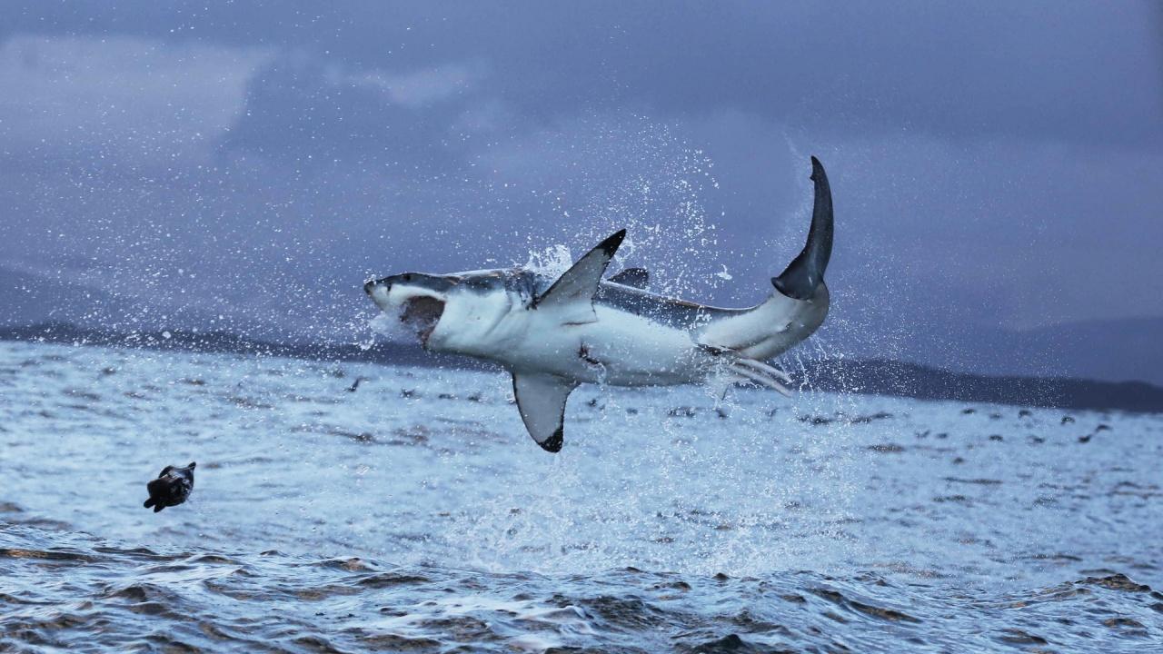Гмуркач засне аномално едра акула
