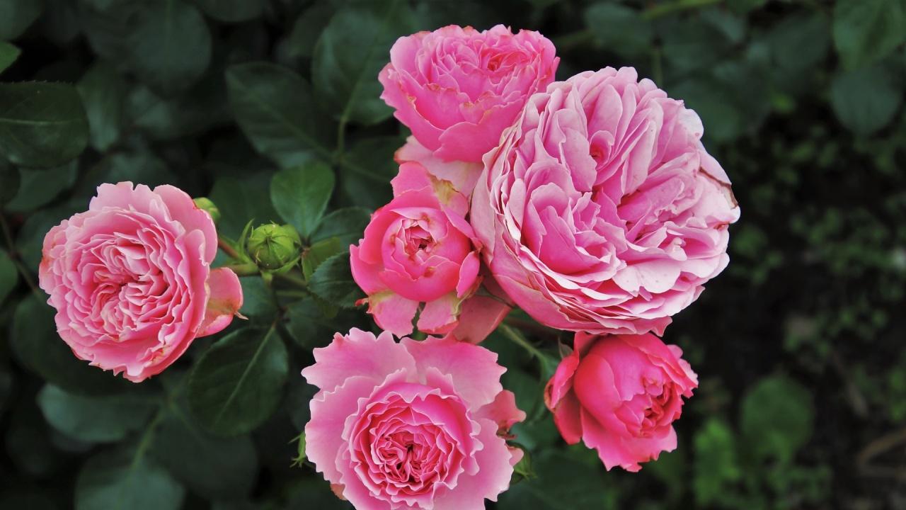Унищожават много масиви с маслодайна роза заради ниските изкупни цени