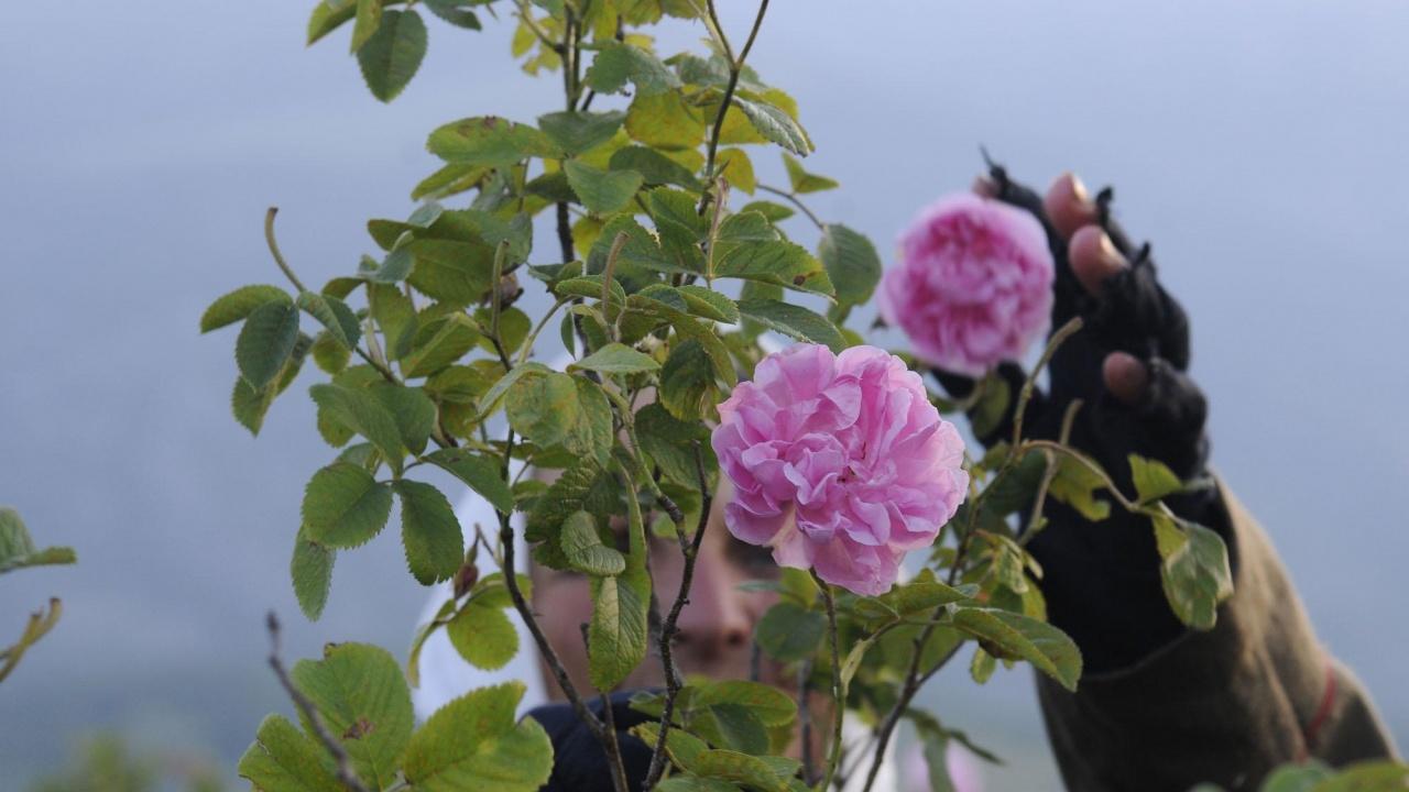 В Казанлък избраха Царица Роза