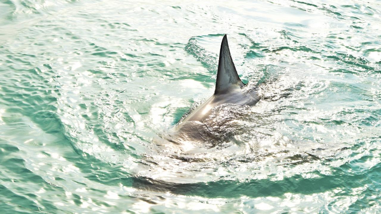 Акула уби сърфист, властите в Австралия я издирват