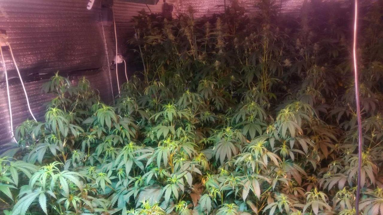 Разбиха оранжерия за марихуана в Разград